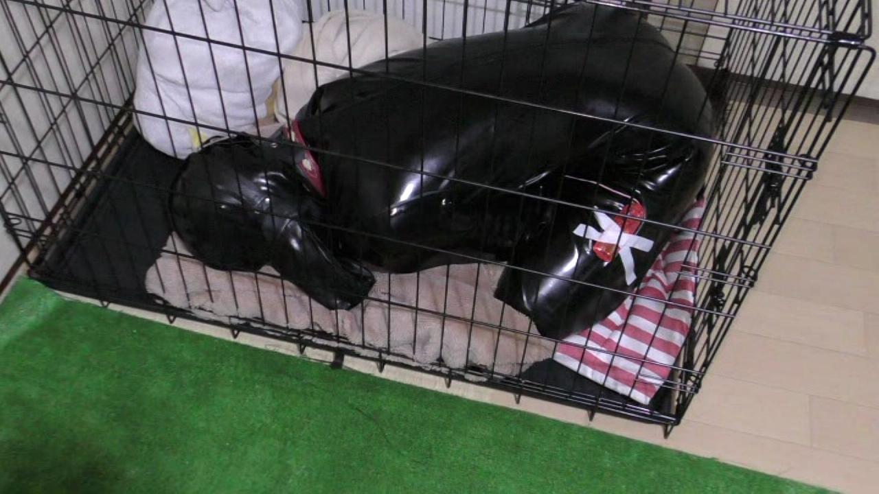 実録!ヒトイヌ生活!(rubber dog 4)